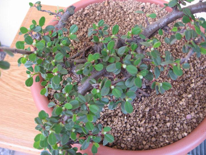 Cotoneaster salicifolia da impostare Img_3512