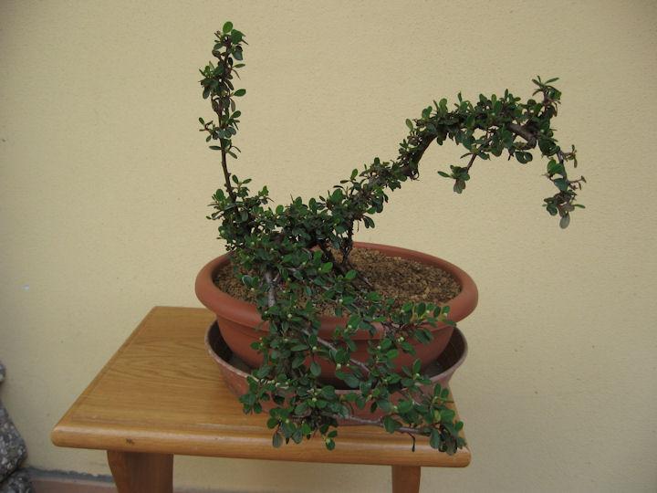 Cotoneaster salicifolia da impostare Img_3513