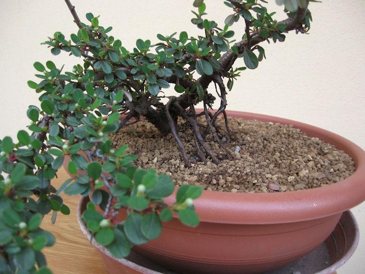 Cotoneaster salicifolia da impostare Img_3514