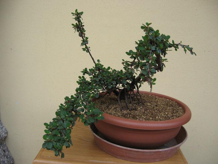 Cotoneaster salicifolia da impostare Img_3515