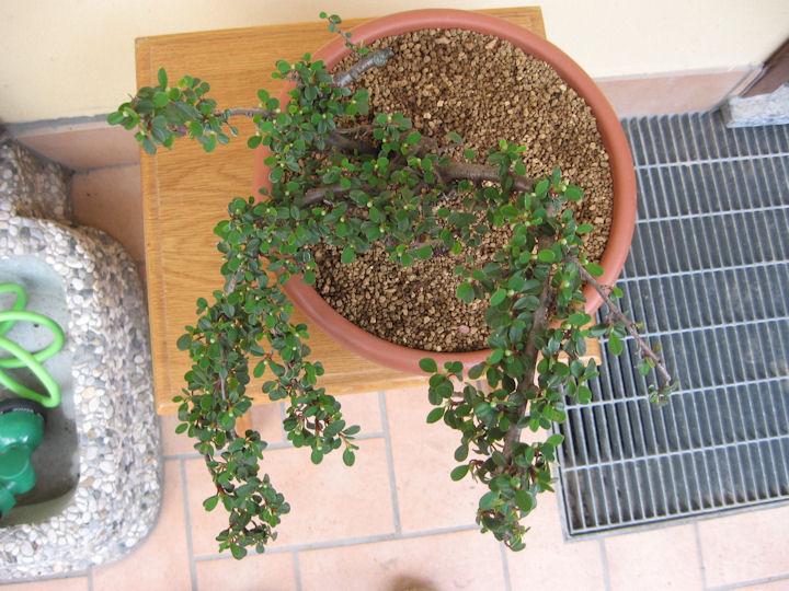 Cotoneaster salicifolia da impostare Img_3516