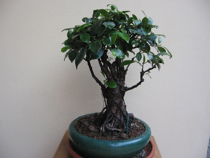Ficus retusa con radici aeree Img_3625