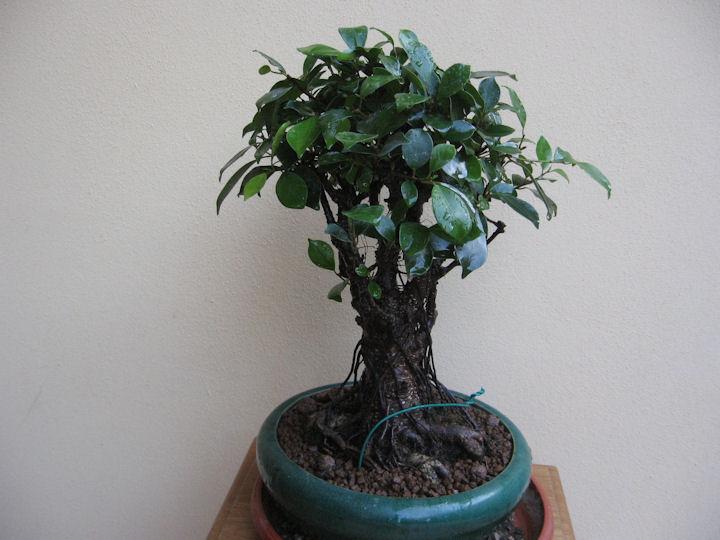 Ficus retusa con radici aeree Img_3626
