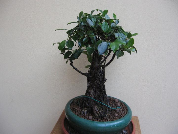 Ficus retusa con radici aeree Img_3627