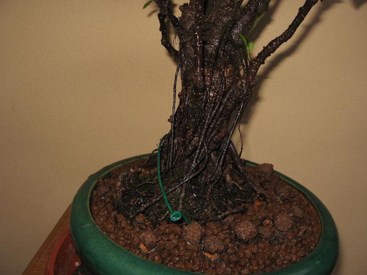 Ficus retusa con radici aeree Img_3629