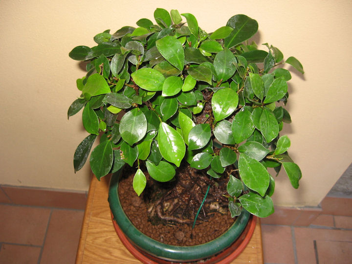 Ficus retusa con radici aeree Img_3630