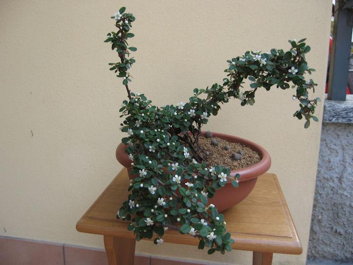 Cotoneaster salicifolia da impostare Img_3636