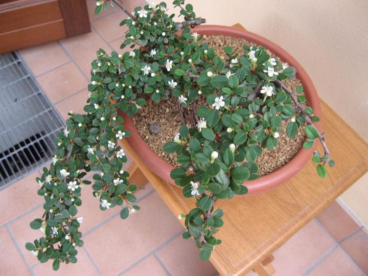 Cotoneaster salicifolia da impostare Img_3637
