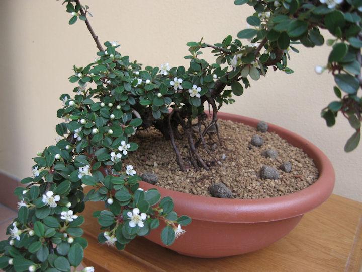 Cotoneaster salicifolia da impostare Img_3638