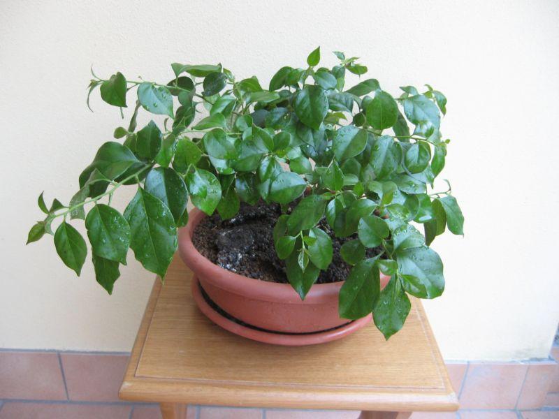 Bouganville (forse bonsai tra qualche anno) Img_4013