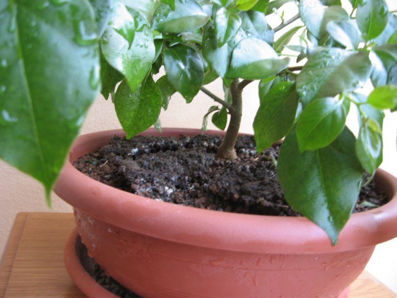 Bouganville (forse bonsai tra qualche anno) Img_4014
