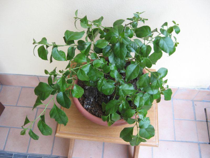 Bouganville (forse bonsai tra qualche anno) Img_4015