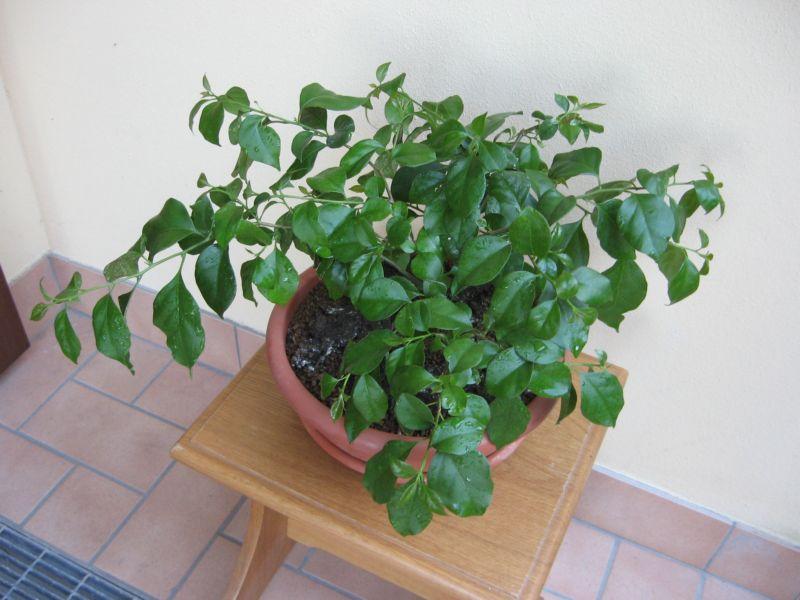 Bouganville (forse bonsai tra qualche anno) Img_4016