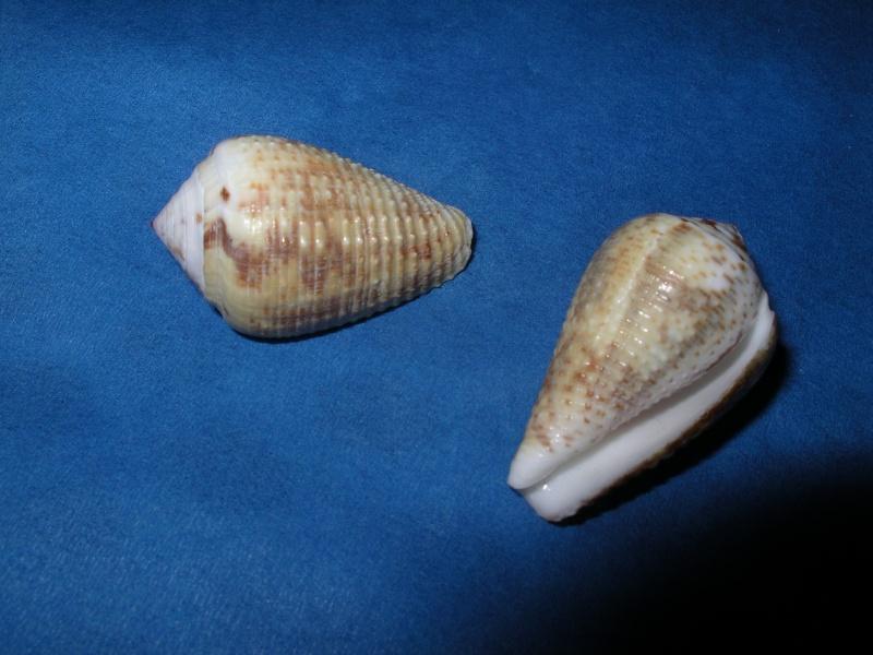 Conus (Pionoconus) catus   Hwass in Bruguière, 1792 Conus_16