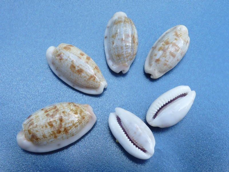 Talostolida teres teres - (Gmelin, 1791)  P1010611