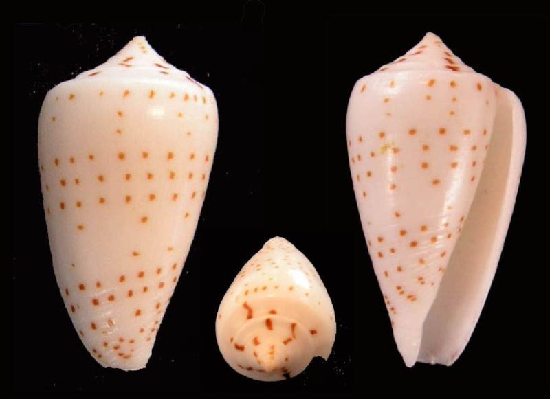 Conus (Phasmoconus) angioiorum  Röckel & Moolenbeek, 1992 Angio_10