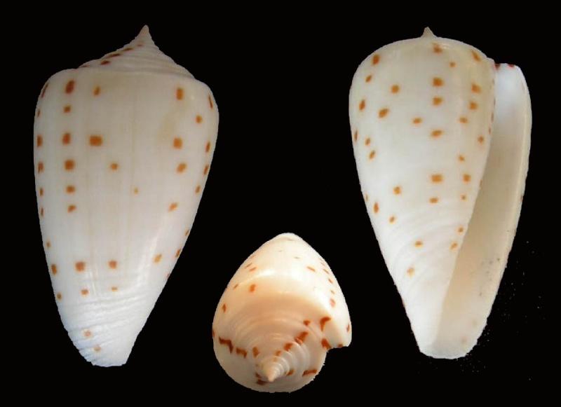 Conus (Phasmoconus) angioiorum  Röckel & Moolenbeek, 1992 Angio_11