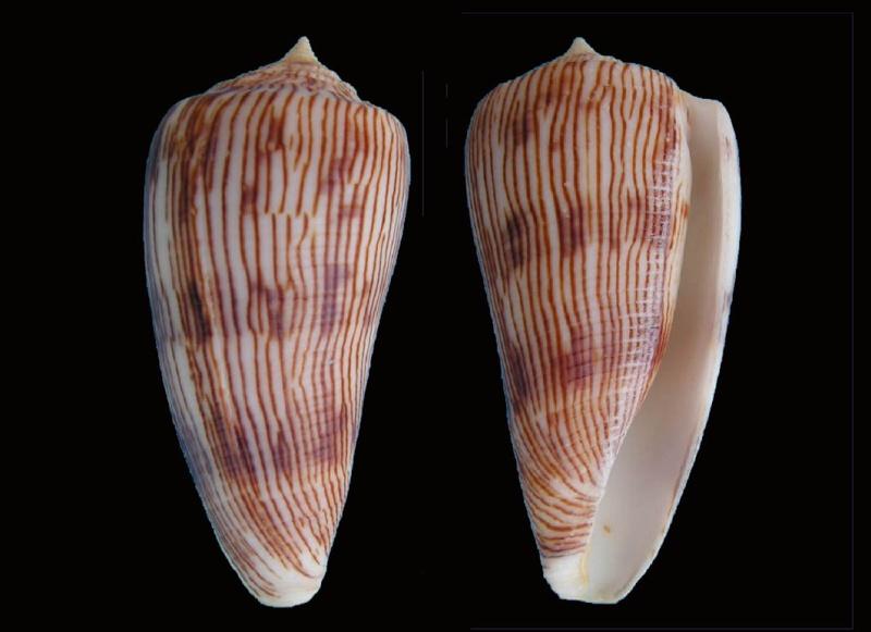 Conus (Phasmoconus) kuroharai  (Habe, 1965) Kuroha10
