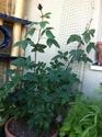 Aidez moi à tailler mes rosiers svp Rosier22