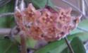 Hoya sp  PNG 420 Imag0117