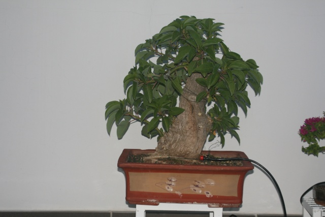 Please identify my tree. (Phytolacca dioica - Ombu as identified by David B.) Img_2020