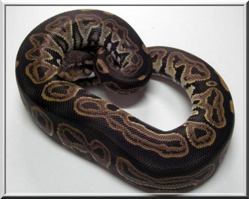 black pastel  ( régius ) Blcpas13