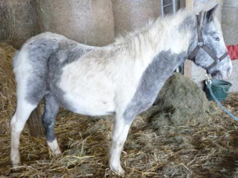 vol de 2 poneys pie gris et appaloosa de 2 ans dans l eure. Vasco10