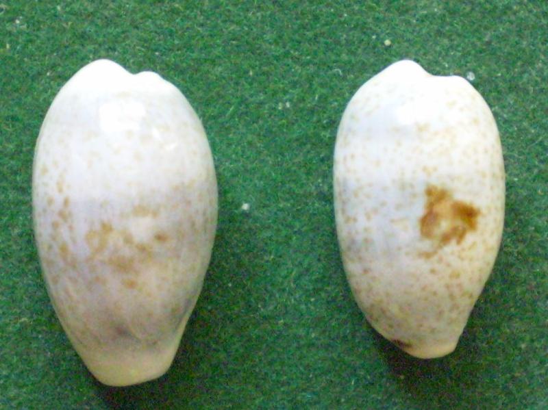 Erronea errones - (Linnaeus, 1758) Compar10