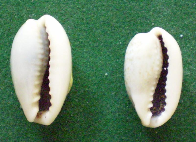 Erronea errones - (Linnaeus, 1758) Compar11