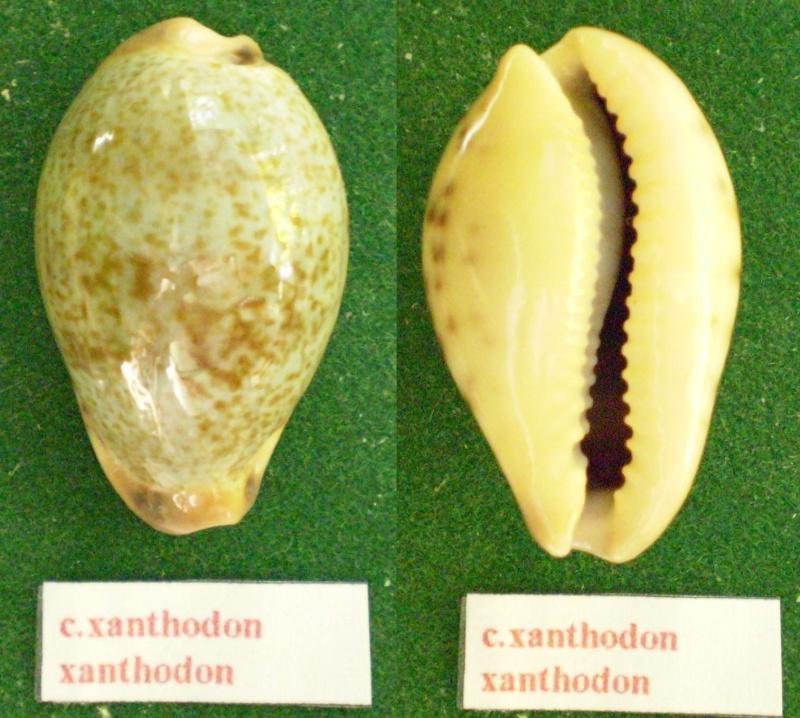 Erronea xanthodon - (J.E. Gray in G. B. Sowerby I, 1832) Panor156