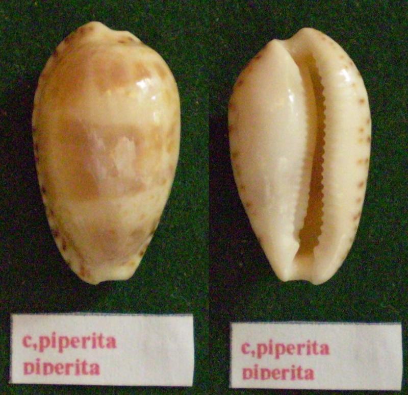 Notocypraea piperita - (Gray, 1825) Panor216