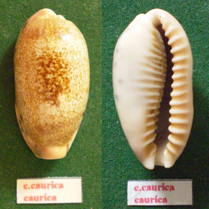 Erronea caurica caurica - (Linnaeus, 1758) Panor222