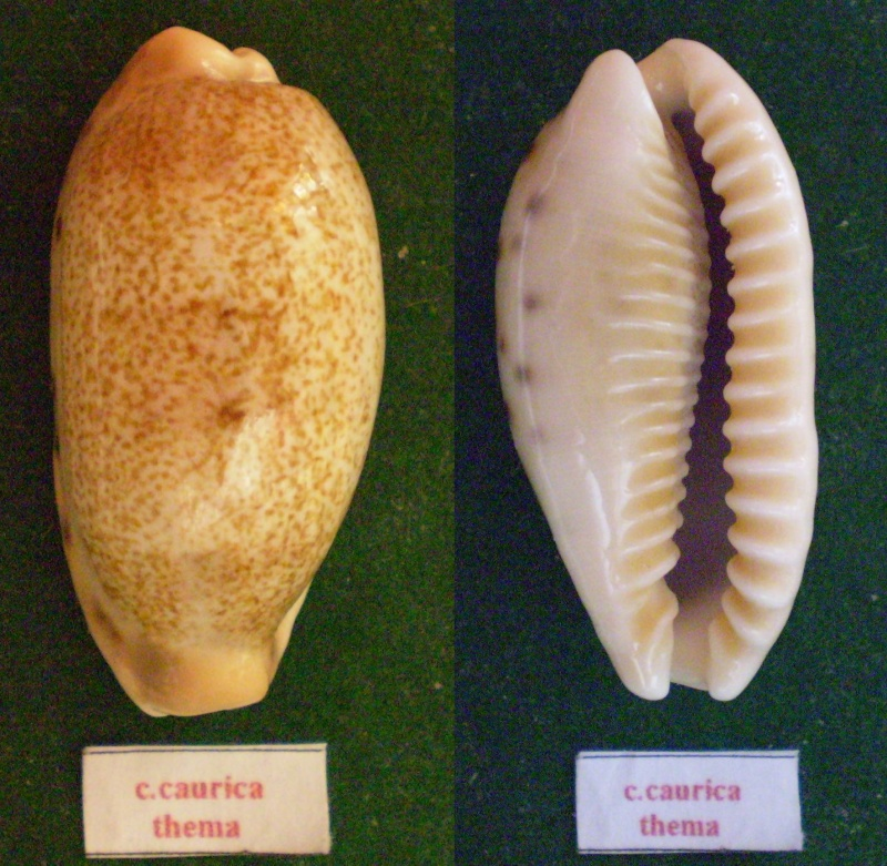 Erronea caurica thema - Iredale, 1939  voir Erronea caurica caurica (Linnaeus, 1758)  Panor224