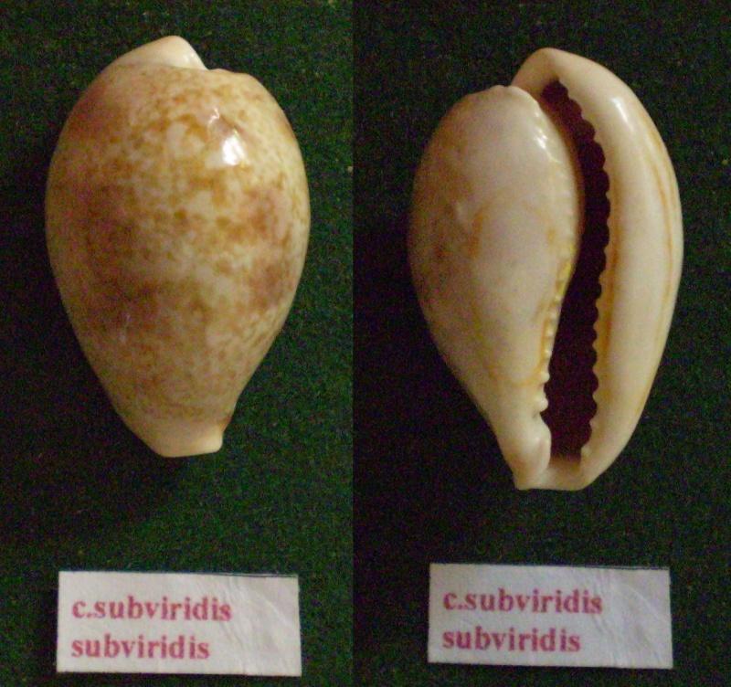 Erronea subviridis subviridis - (Reeve, 1835)  Panor225