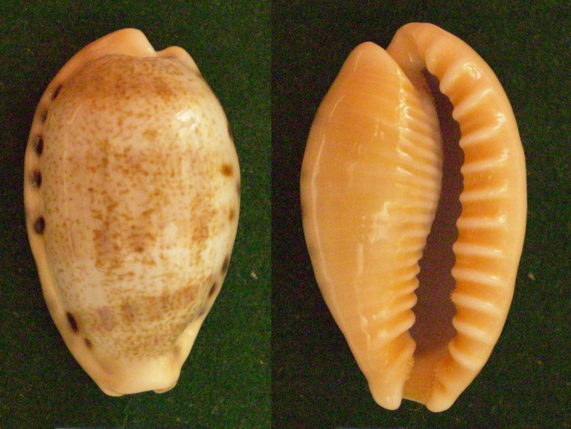 Erronea caurica blaesa - Iredale, 1939 Panor226