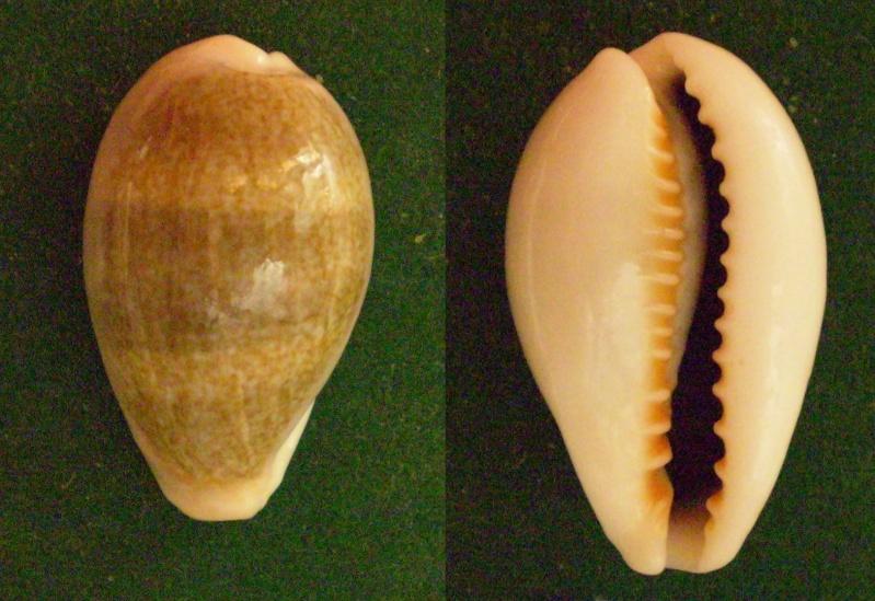 Erronea ovum ovum - (Gmelin, 1791) Panor242