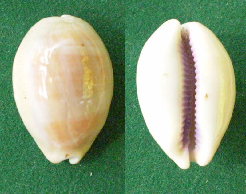 Lyncina carneola crassa - Gmelin, 1791 voir Lyncina carneola - (Linnaeus, 1758)  Panora70