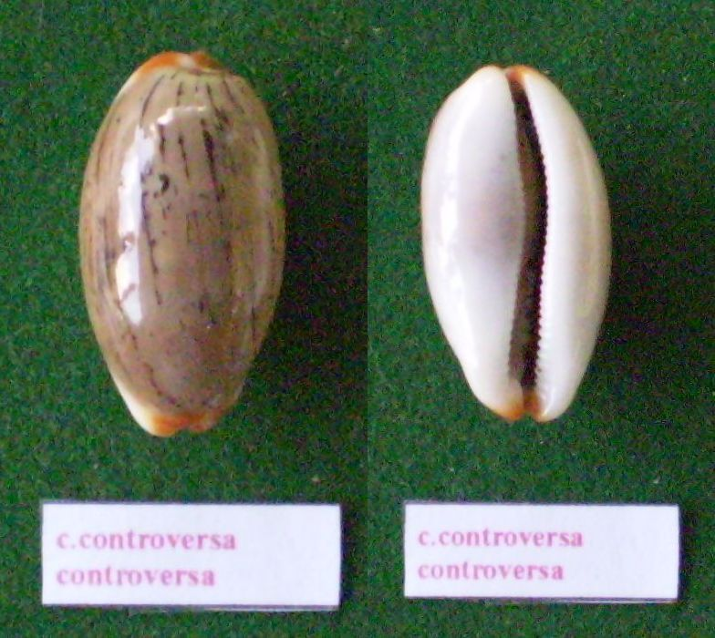 Luria isabella controversa - (Gray, 1824) voir Luria isabella (Linnaeus, 1758) Panora91