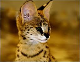 Wild Cat RolePlay Serval12