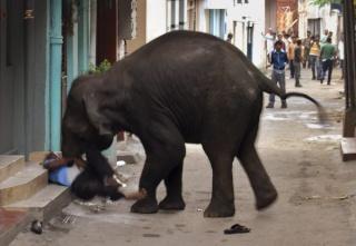 zoologie éléphants déchaînés massacre homme piétiné ache tuée juin 2011 forum mammifère Mysore Karnataka Inde
