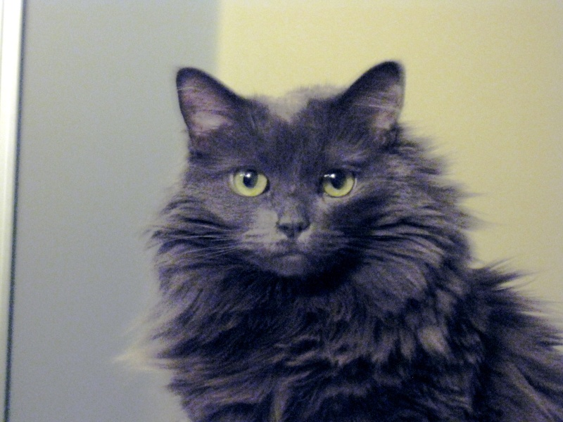 Is my kitty a Nebelung?? Img_1513