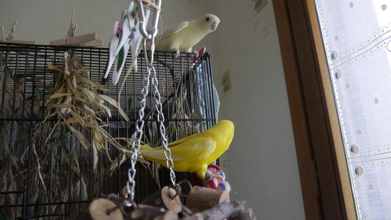 Paire de perruches catherine femelles apprivoisée 27188911