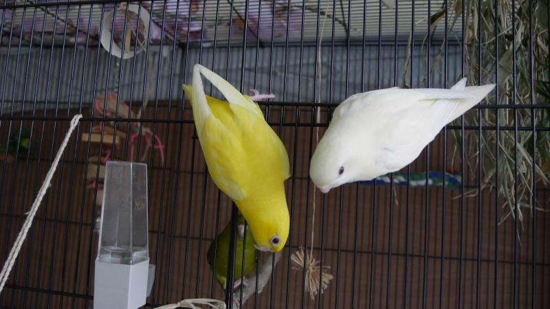 Paire de perruches catherine femelles apprivoisée 82186012