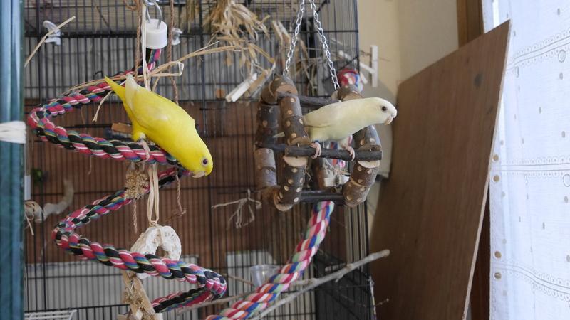 Paire de perruches catherine femelles apprivoisée Perruc13