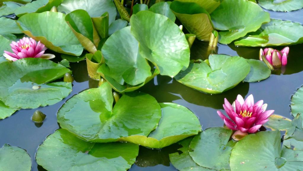 Le potager  et les fleurs  aujourd'hui P1150410