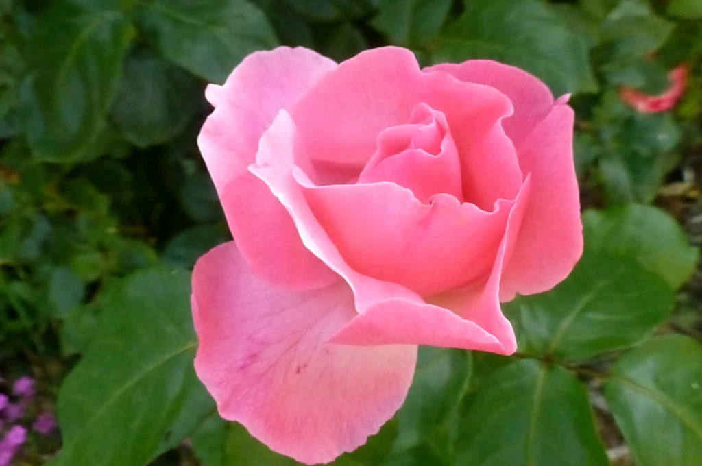 Le potager  et les fleurs  aujourd'hui P1150416