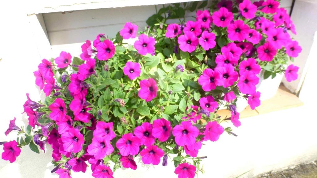 Le potager  et les fleurs  aujourd'hui P1150417