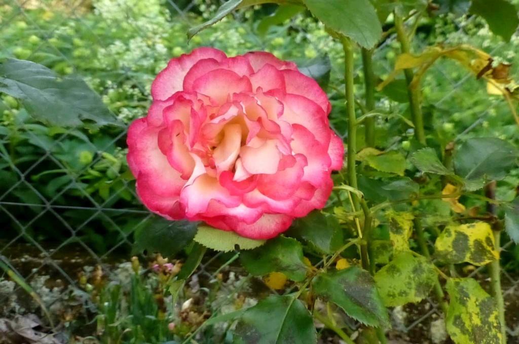 Le potager  et les fleurs  aujourd'hui P1150418