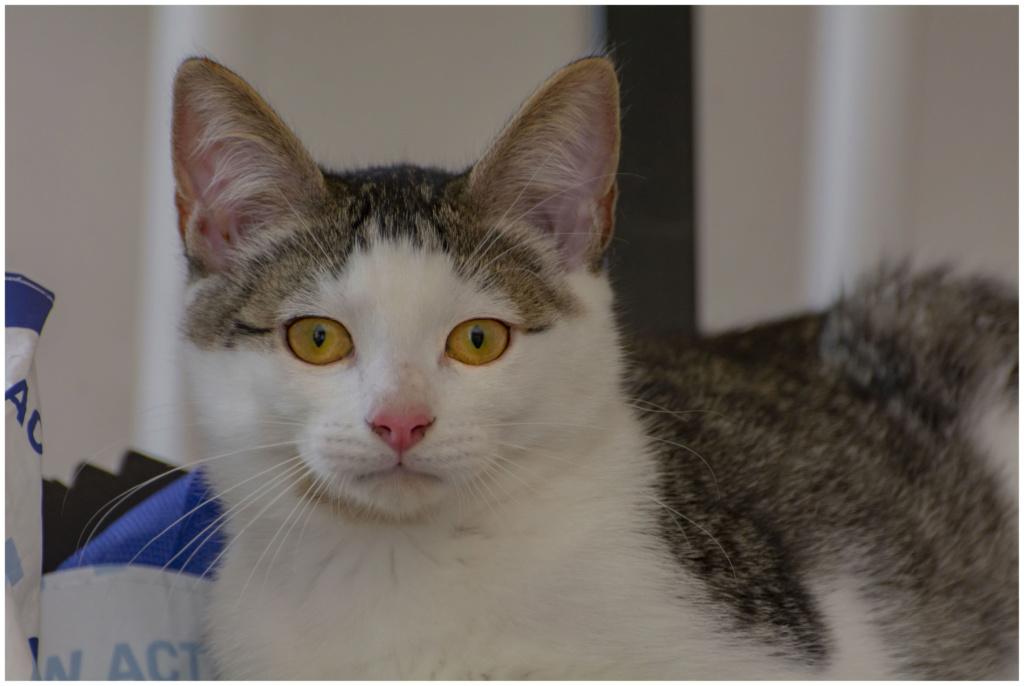 ODILON, chaton mâle blanc et gris tigré né le 07/04/18 00810