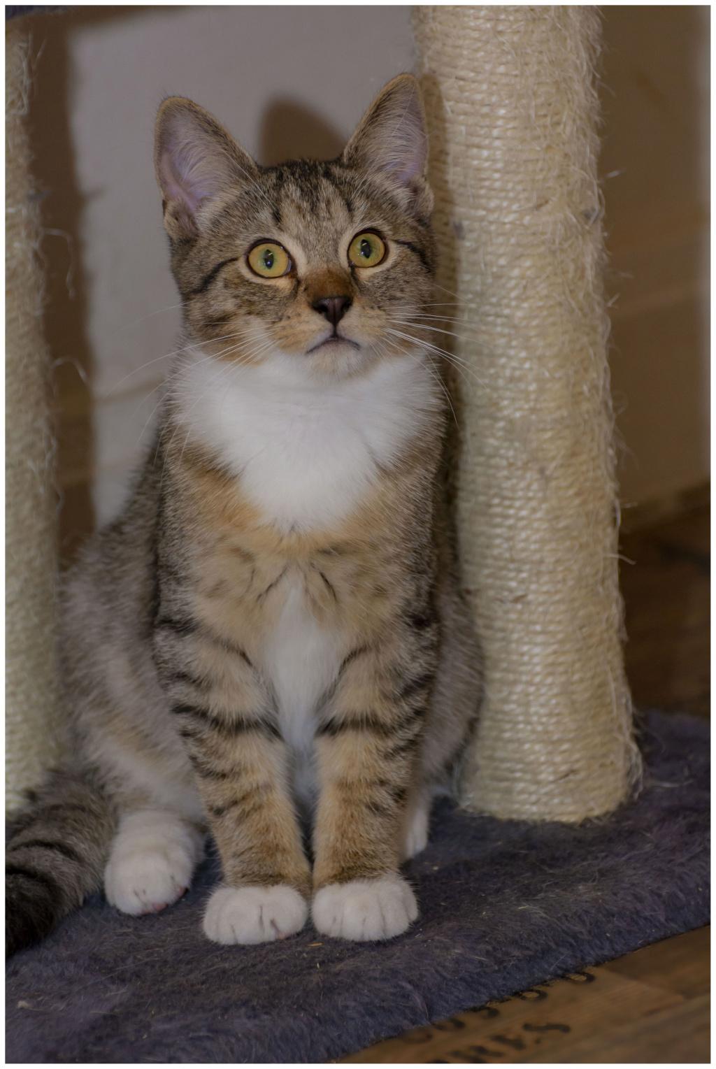 ODILON, chaton mâle blanc et gris tigré né le 07/04/18 01010